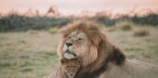 lion protecting cub