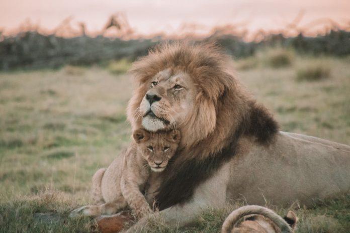 lion protecting cub